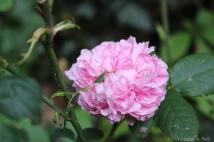 Le jardin de Nell - 'Jacques Cartier'