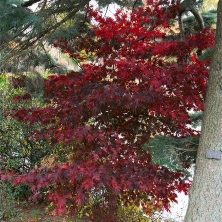 acer-palmatum-bloodgood-83910-1